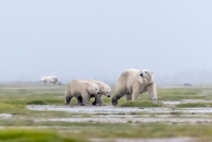 Polar bear family at Nanuk. Plus one! Photo courtesy of An Xiao.