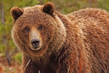 Grizzly-Bear-image-for-stamp-Robert-Postma-1k