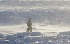 polarbearaloneoniceatsealriverheritagelodgecharlesglatzer