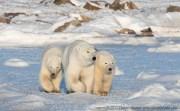 polarbearcubswithmomsealriverheritagelodgecharlesglatzer