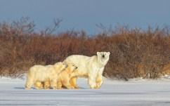polarbearmomandcubschurchillwildcharlesglatzer