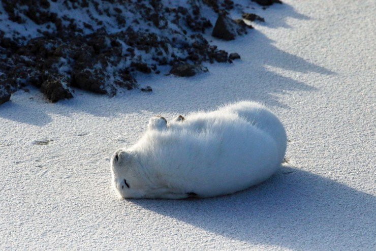 Ahhh... that's it! Arctic hare photo courtesy of guest Sally Mitchell-Wolf.
