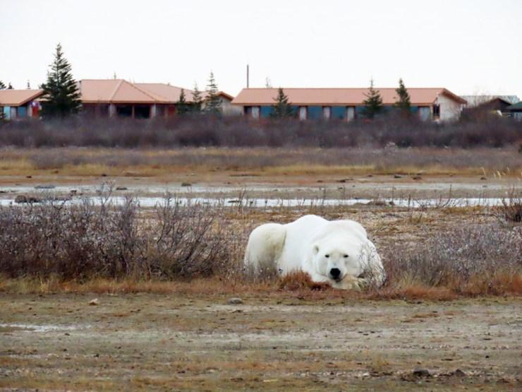 Polar bear patiently awaiting the snow in front of Nanuk Polar Bear Lodge. Photo courtesy of guest Kim Gunst.