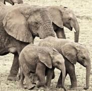 elephantfamilyanjalisingh
