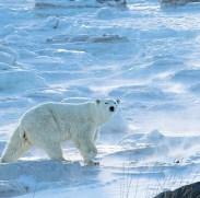 polarbearchurchillwildanjalisingh