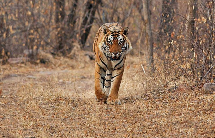 Tiger walks towards guests at Suján Sher Bagh