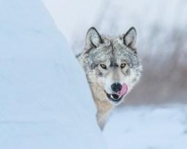 Wolf licking chops. Nanuk Polar Bear Lodge. Jad Davenport photo.