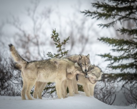 wolf-conference-nanuk-polar-bear-lodge-jad-davenport - Copy