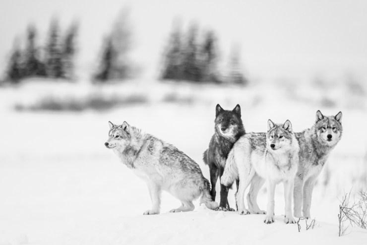 The wolves of Nanuk. Jad Davenport photo.