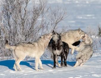 wolves-playing-nanuk-polar-bearlodge-jad-davenport