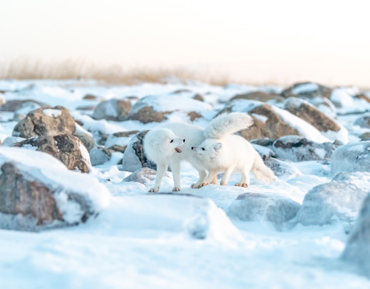 Arctic foxes playing at Seal River Heritage Lodge. Photo by Churchill Wild photo leader George Turner.