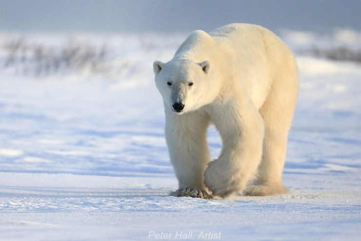 Artist Peter Hall meets a polar bear at Nanuk Polar Bear Lodge.