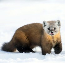 Pine Marten. Seal River Heritage Lodge. Chase Teron photo.