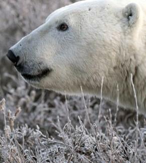 Polar bear close-up. Polar Bear Photo Safari. Nanuk Polar Bear Lodge. Marielena Smith photo. Epic7 Travel.