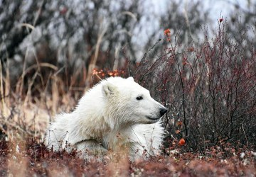 Polar bear cub. Dymond Lake Ecolodge. Great Ice Bear Adventure. Allison Francoeur photo.