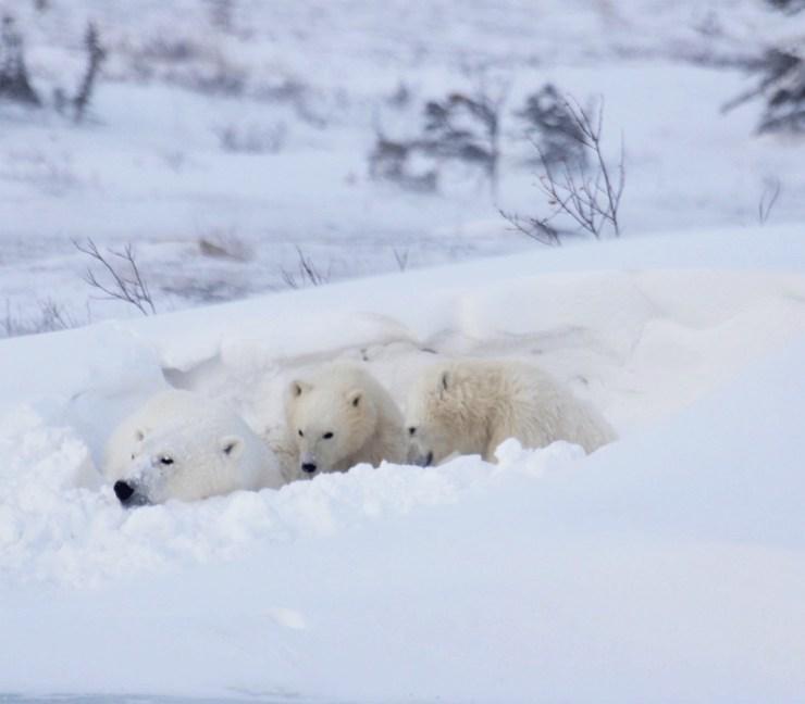 Polar bear family on the Great Ice Bear Adventure. Eduard Planting photo.