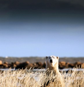 Polar bear In the wllows. Seal River Heritage Lodge. Polar Bear Photo Safari. Chase Teron photo.