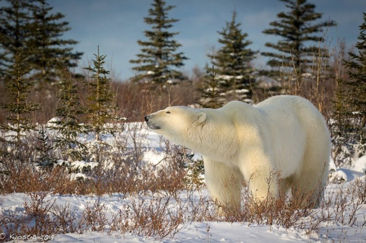 The cleanest air on the planet lives here. And this big polar bear knows it. Nanuk Polar Bear Lodge. Photo by Derek Kyostia @polar.nemo on Instagram.