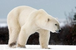 Ready for the seal hunt. Polar Bear Photo Safari. Nanuk Polar Bear Lodge. Matt Meintel photo.