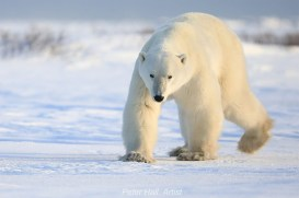 polar-bear-walking-towards-us-nanuk-polar-bear-lodge-peter-hall-5