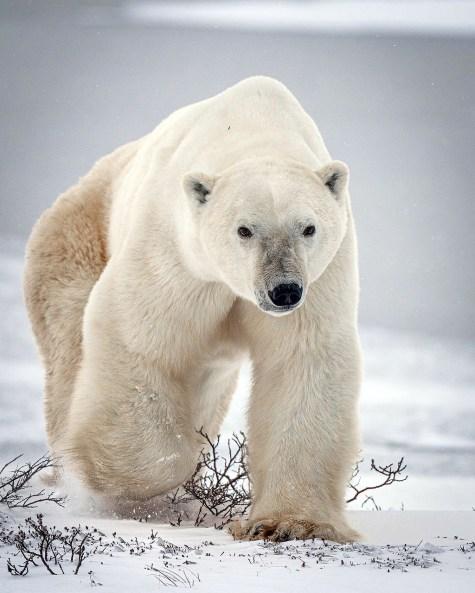 Photo opp? Sure! Polar Bear Photo Safari at Nanuk. Nate Luebbe photo.