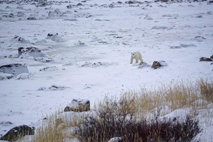 Young female polar bear headed towards Seal River Heritage Lodge. Vanessa Desorcy photo.