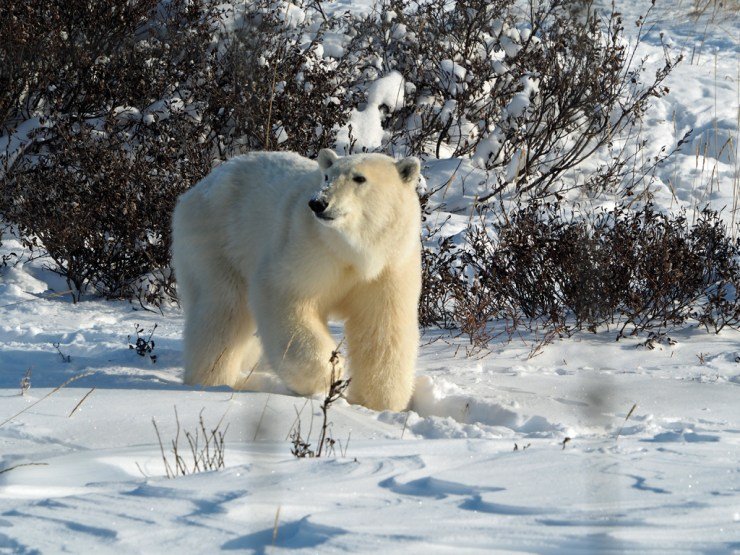 Young polar bear arrives at Seal River Heritage Lodge. Jen Alcorn photo.