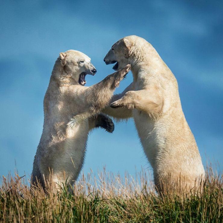 Polar bears sparring at Seal River Heritage Lodge. Jad Davenport photo.