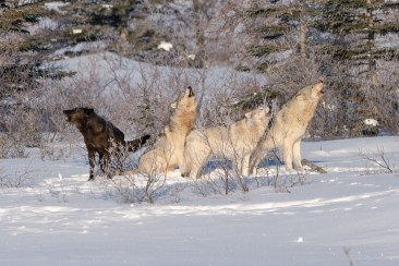 Wolves singing. Nanuk Polar Bear Lodge.