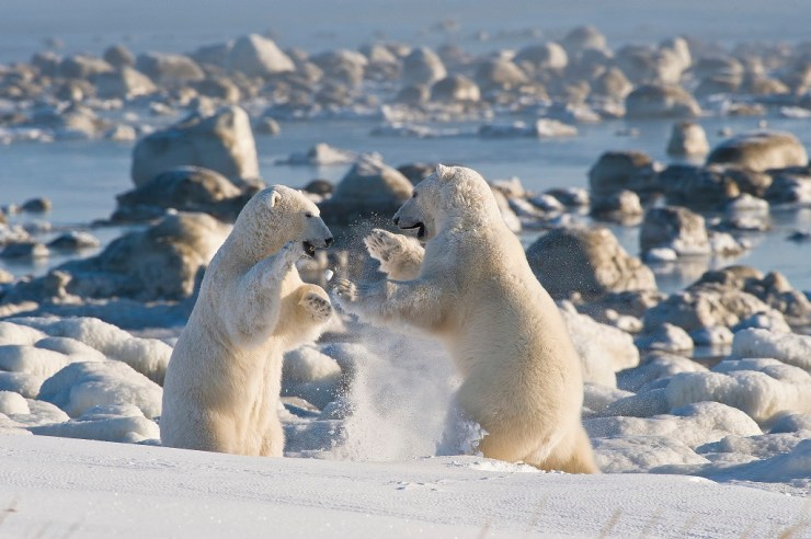 Polar bears sparring in the fall at Seal River Heritage Lodge. Dennis Fast photo.