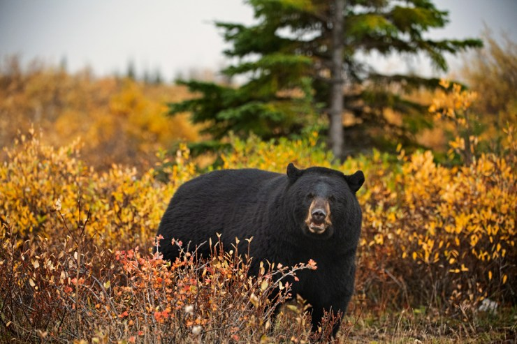 Black bear on the edge of the boreal forest at Nanuk. Anjali Singh photo.