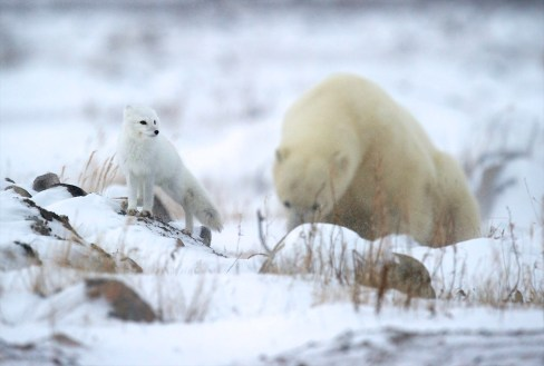 Arctic fox and polar bear at Seal River Heritage Lodge. C. Attinger photo.