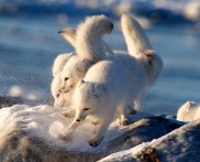 Arctic foxes playing at Seal River Heritage Lodge. Lydia Attinger photo.