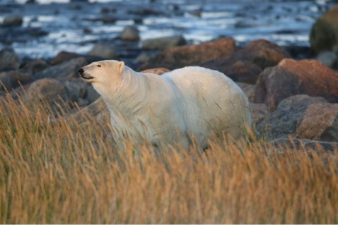 Honourable Mention - Polar Bears - Churchill Wild 2019 Guest Photo Contest - Lynne Fox - Summer Dual Lodge Safari - Nanuk Polar Bear Lodge and Seal River Heritage Lodge