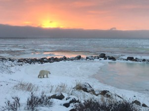 2nd Place - Amateur - Churchill Wild 2019 Guest Photo Contest - Dalia Katzir - Polar Bear Photo Safari - Seal River Heritage Lodge