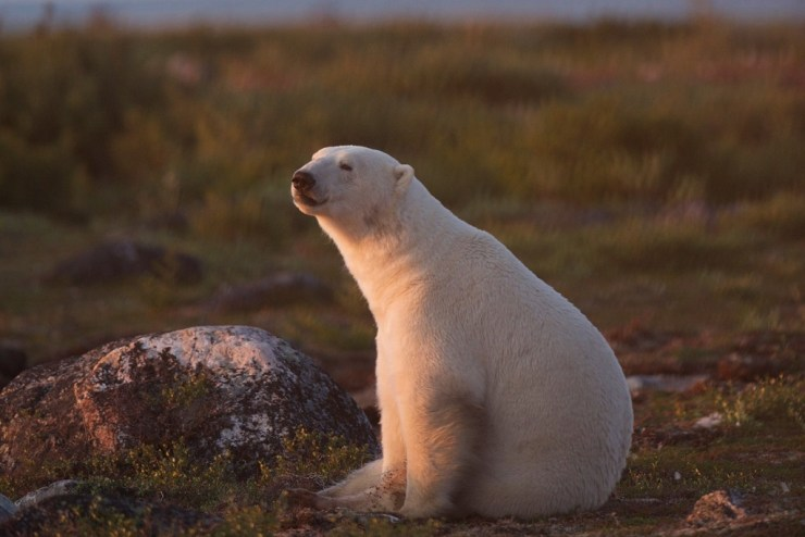 For many of us, even polar bears, travel is everything. Jad Davenport photo.