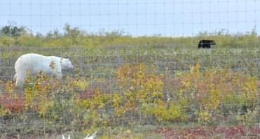 Rare shot of polar bear and black bear in same photo. Nanuk Polar Bear Lodge. Ian Johnson photo.