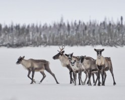 Caribou on the move. Nanuk Polar Bear Lodge. Albert Saunders photo.