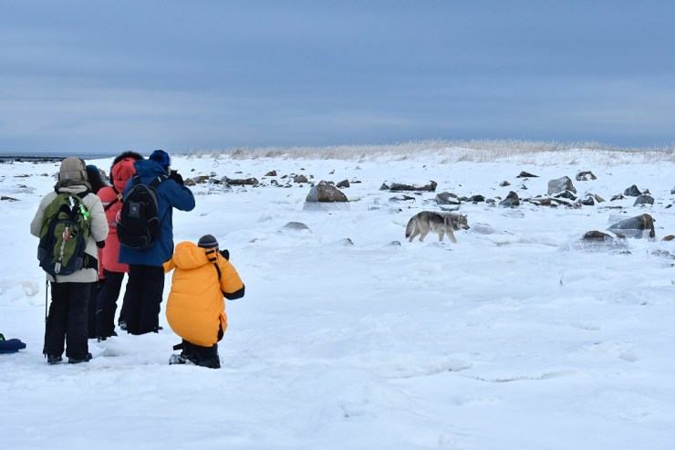 Guests photographing wolf at Seal River Heritage Lodge. Ian Johnson photo.