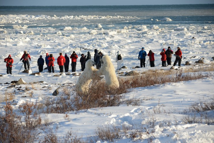 Front row seat to the fight at Seal River Heritage Lodge. Bill Lyne photo.