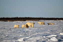 Polar bear family gathering. Dymond Lake Ecolodge. Erik and Diane Hoffer photo.