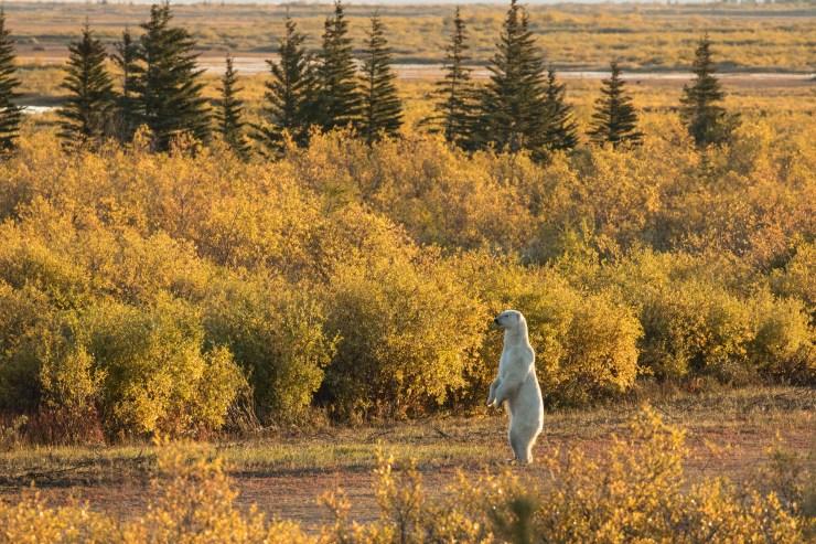 Polar bear on the lookout in fall colours at Nanuk. Susan Jenkins photo.