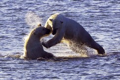 Polar bears playing in Hudson Bay. Seal River Heritage Lodge. Andreas Meyer Wernecke photo.