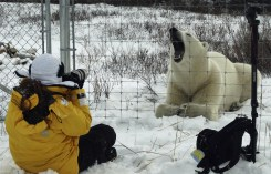 Guest photographing polar bear at ground level. Dymond Lake Ecolodge.