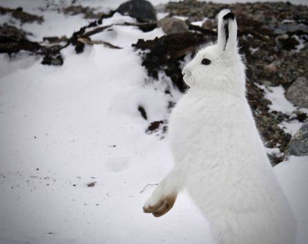 Arctic hare sees something. Seal River Heritage Lodge. Barbara York photo.