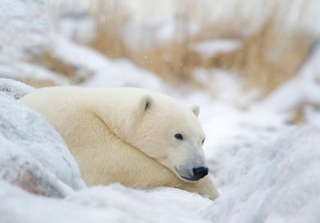 Content polar bear at Seal River Heritage Lodge. Dennis Fast photo.