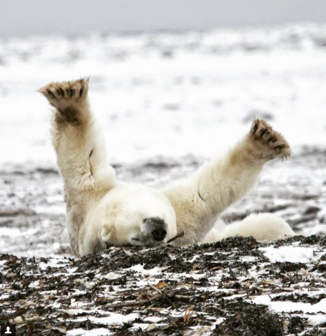 Scarbrow the polar bear rolling at Dymond Lake Ecolodge. Dax Justin photo.