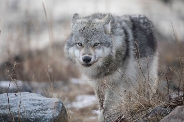 Wolf at Seal River Heritage Lodge. Robert Postma photo.