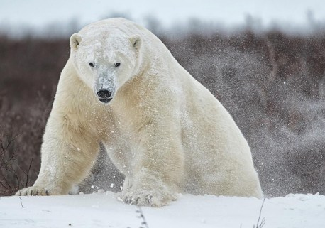 Big polar bear emerges from behind snowdrift at Dymond Lake Ecolodge. Robert Postma photo.