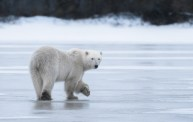 Polar bear says goodbye at Dymond Lake Ecolodge. Cyril and Sophie Bauer photo.